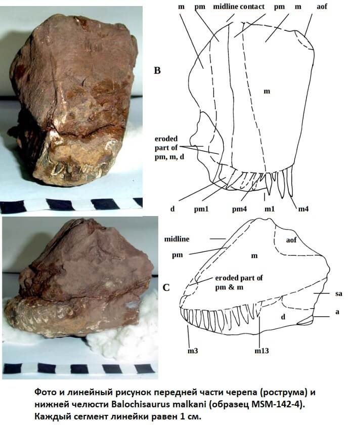 Череп балохизавра