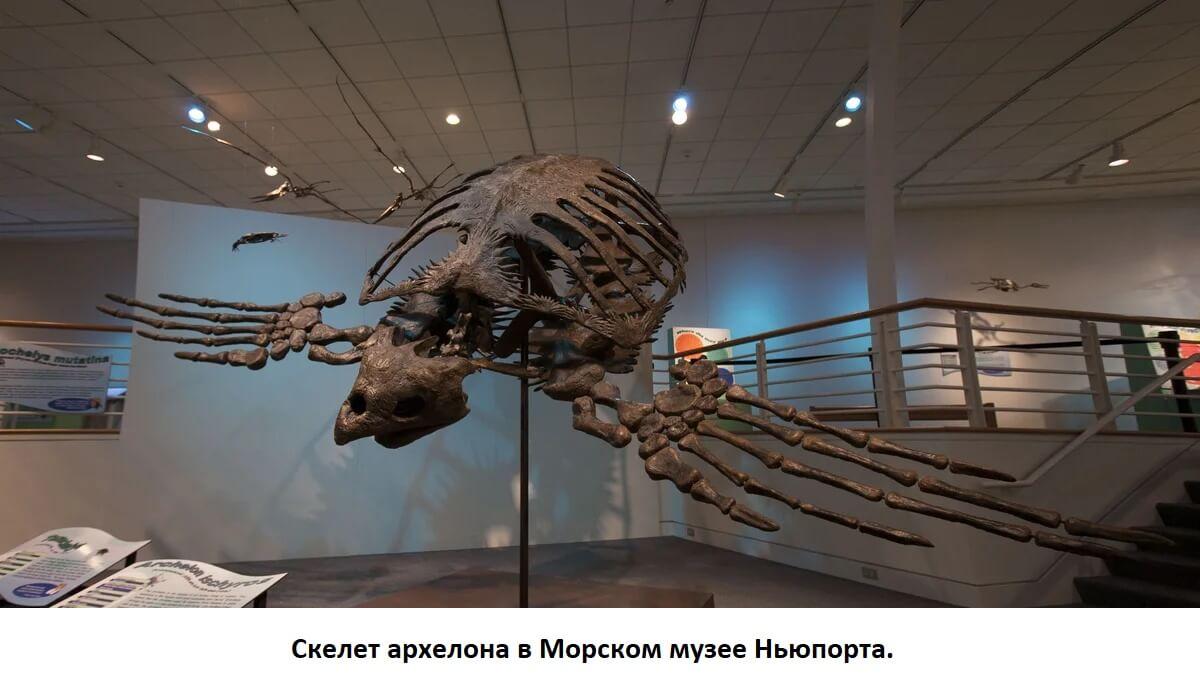 Скелет Архелона в музее Ньюпорта