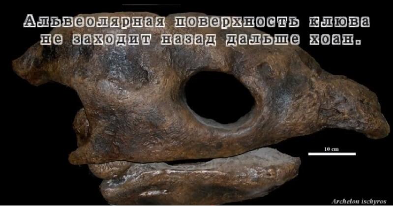 Строение альвеолярной части черепа архелона