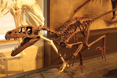 Скелет велоцираптора в национальном музее Оттава