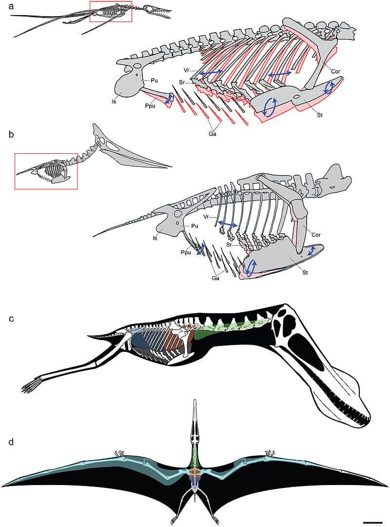 Расположение дыхательных мешков птерозавров