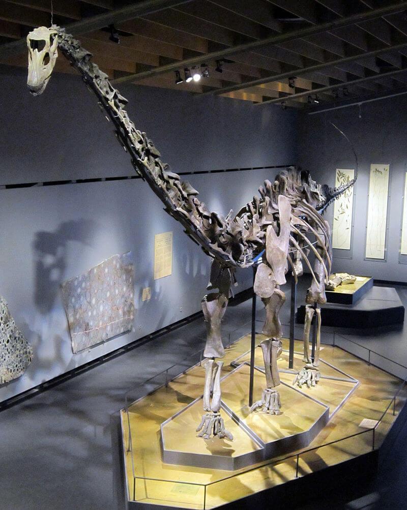 """Diplodocus sp. скелет названный """"Misty""""Зоологический Музей Коппенгагена"""