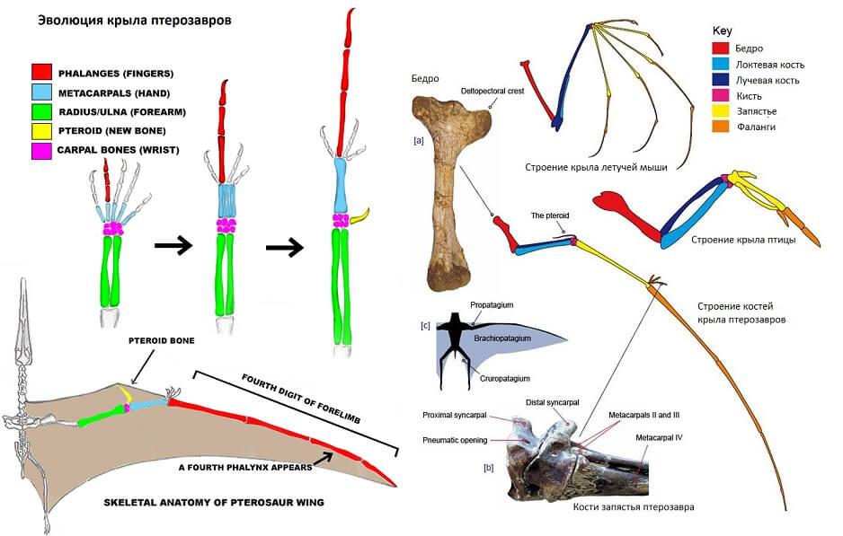 Строение костей верхней конечности птрозевров