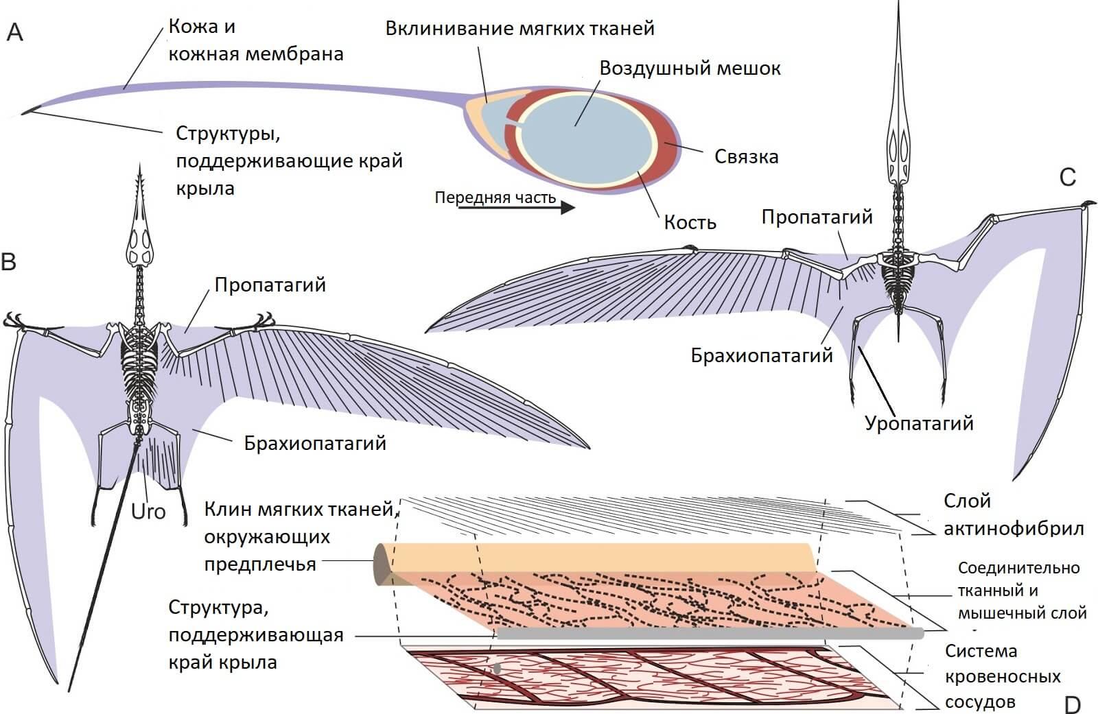 Строение костей и мембраны крыла