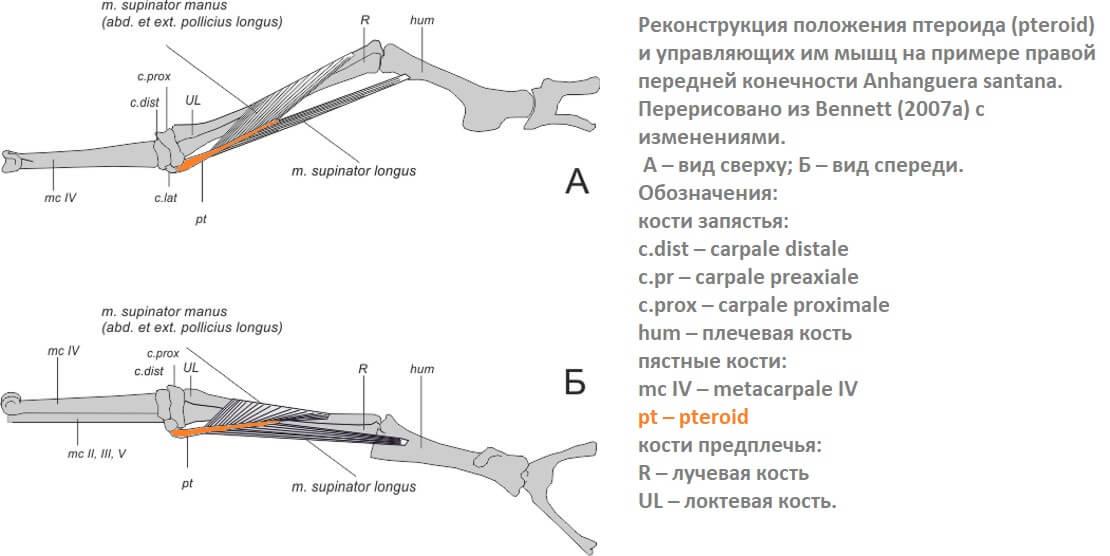 Расположение и функция птероида
