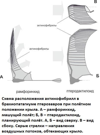 Разилчие расположения актинофибрилл у рамфоринхид и птеродактилоидов