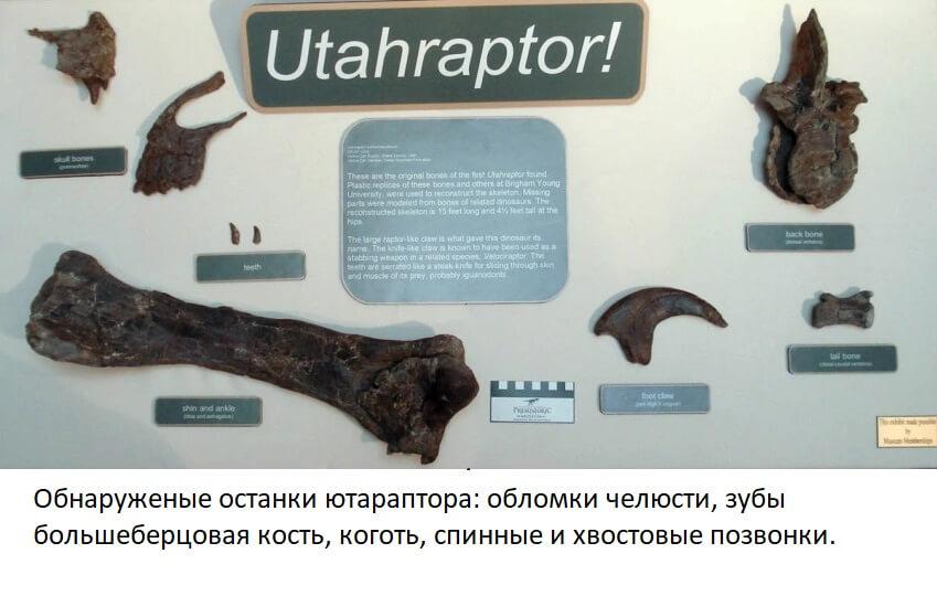 Найденные останки ютараптора