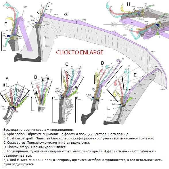 Строение верхних конечностей птерозавра