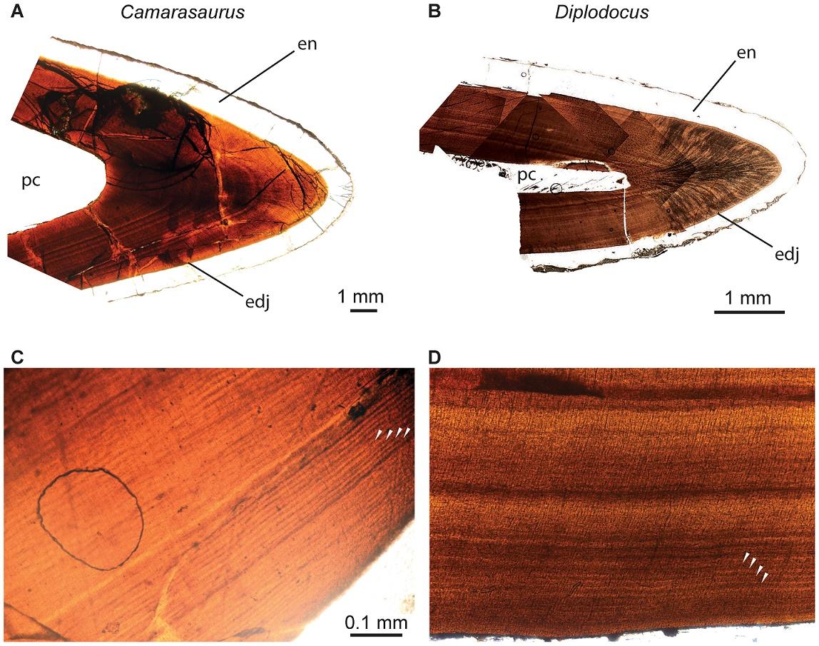 Зубы диплодока стирались опчти в 2 раза быстрее, чем зубы камаразавра