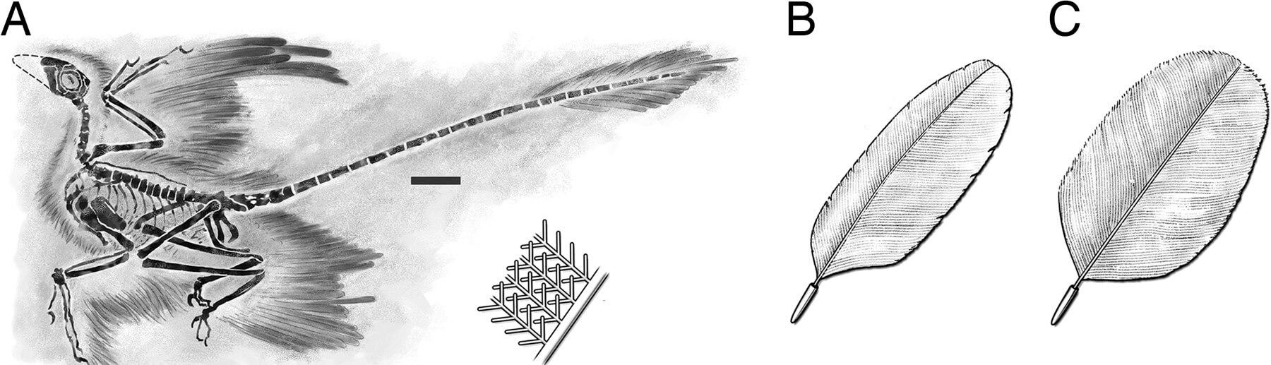 Перья микрораптора