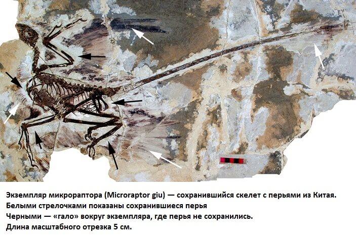 Фото останков микрораптора с перьями