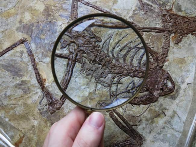 В желудке микрораптора были обнаружены останки птицы, которую он проглотил целиком