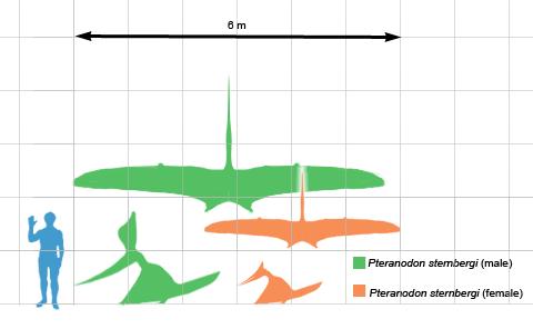 На сегодняшний день выделяют 2 вида птеранодонов