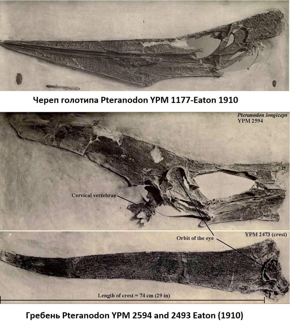 Найденные черепа птеранодонов