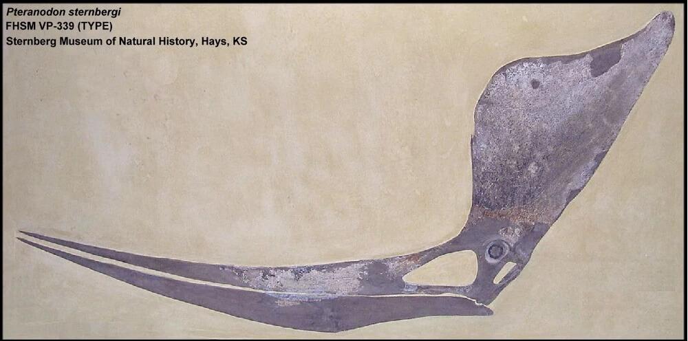 Скелет птеранодона, находящийся в музее естественной истории Штенберга