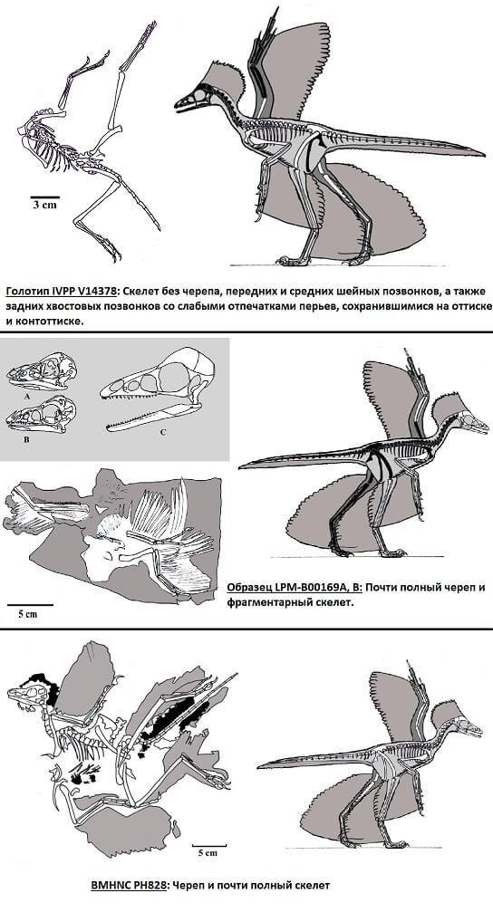 Строение голотипа и других найденных скелетов анхиорниса