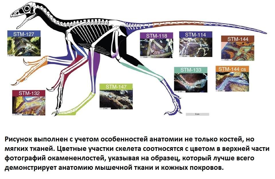 Строение скелета анхиорниса с очертаниями мышц
